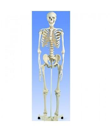 Esqueleto Est