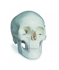 Cráneo Clásico 3 Partes.